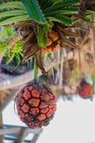 Φρούτα screwpine ακτών Στοκ Φωτογραφία