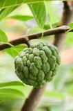 Φρούτα squamosa Annona Στοκ Εικόνα