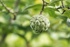 Φρούτα Srikaya, squamosa Annona Στοκ Εικόνες