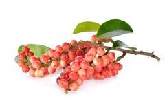 Φρούτα thwaitesianum Antidesma ή ταϊλανδικό βακκίνιο με το μίσχο και το λ Στοκ Εικόνες