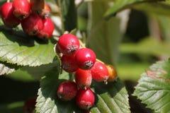 Φρούτα Whitebeam Στοκ Εικόνα