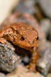 Φρύνος ή βάτραχος Στοκ εικόνες με δικαίωμα ελεύθερης χρήσης
