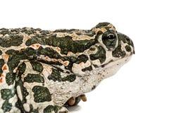 Φρύνος πράσινος, lat Viridis Bufo, που απομονώνονται στο άσπρο υπόβαθρο Στοκ Εικόνες