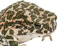 Φρύνος πράσινος, lat Viridis Bufo, που απομονώνονται στο άσπρο υπόβαθρο Στοκ Φωτογραφία
