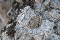 Φρύνος σε μια πέτρα Στοκ φωτογραφίες με δικαίωμα ελεύθερης χρήσης