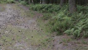 Φτέρες και κομμάτια στο δάσος αυλακώματος Cannock, UK απόθεμα βίντεο