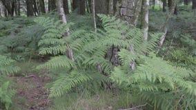 Φτέρες και κομμάτια στο δάσος αυλακώματος Cannock, UK φιλμ μικρού μήκους