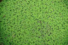 Φτέρες κουνουπιών, υδρόβιες φτέρες στην οικογένεια Salviniaceae, ζιζάνιο νερού στοκ εικόνα με δικαίωμα ελεύθερης χρήσης
