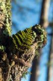 Φτέρες, λειχήνες και βρύο στο δάσος πεύκων στοκ εικόνα