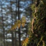 Φτέρες, λειχήνες και βρύο στο δάσος πεύκων στοκ εικόνες