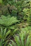 Φτέρες που αυξάνονται στο συγκρατημένο τροπικό δάσος της Νέας Ζηλανδίας στοκ εικόνα
