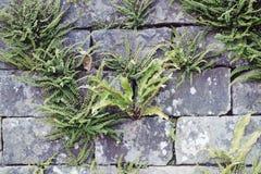 Φτέρες στον πέτρινο τοίχο Στοκ Εικόνα