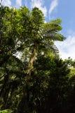 Φτέρες στο τροπικό δάσος, Νήσος Ρεϊνιόν στοκ εικόνες