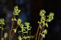 Φτέρες τη νύχτα Στοκ εικόνες με δικαίωμα ελεύθερης χρήσης