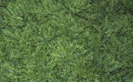 Φτέρες Polystichum Rigens βράχος-κατοίκισης στοκ φωτογραφία με δικαίωμα ελεύθερης χρήσης