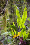 Φτέρη καγκουρό, diversifolium Microsorum Στοκ εικόνα με δικαίωμα ελεύθερης χρήσης