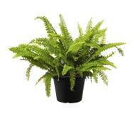 Φτέρη, πράσινη φρέσκια φύση φυτών δέντρων φύλλων στοκ φωτογραφία