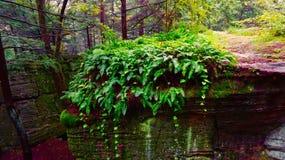 Φτέρη πρωινού στο δάσος πεύκων στοκ φωτογραφία με δικαίωμα ελεύθερης χρήσης