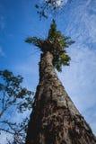 Φτέρη στην κορυφή του μεγάλου ξηρού δέντρου στο τροπικό δάσος Ινδονησία του ανατολικού Μπόρνεο Στοκ φωτογραφία με δικαίωμα ελεύθερης χρήσης