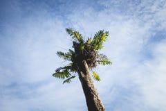 Φτέρη στην κορυφή του ξηρού δέντρου στο τροπικό δάσος του ανατολικού Μπόρνεο, Kalimantan Ινδονησία Στοκ φωτογραφία με δικαίωμα ελεύθερης χρήσης