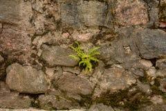 Φτέρη στην πέτρα Στοκ Φωτογραφίες