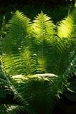 Φτέρη στον κήπο Στοκ Εικόνες