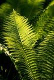 Φτέρη στον κήπο Στοκ φωτογραφίες με δικαίωμα ελεύθερης χρήσης