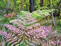 Φτέρη στο δάσος φθινοπώρου Στοκ φωτογραφία με δικαίωμα ελεύθερης χρήσης