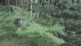 Φτέρη στο δάσος αυλακώματος Cannock, UK απόθεμα βίντεο