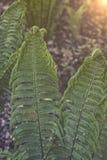 Φτέρη στρουθοκαμήλων στο δασικό λατινικό όνομα: Struthiopteris Matteuccia Στοκ Φωτογραφία