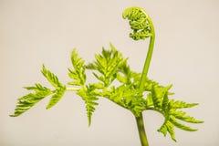 Φτέρη φιδιών κουδουνισμάτων - virginianum Botrychium Στοκ εικόνα με δικαίωμα ελεύθερης χρήσης