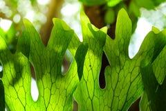 Φτέρη Platycerium Staghorn alnicorne Στοκ Φωτογραφία