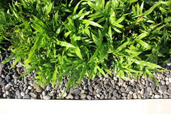 Φτέρη scolopendria Microsorum σε έναν σύγχρονο κήπο στοκ φωτογραφία με δικαίωμα ελεύθερης χρήσης