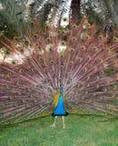 Φτέρωμα Peacock, χορός Στοκ φωτογραφία με δικαίωμα ελεύθερης χρήσης