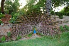 Φτέρωμα Peacock, χορός Στοκ εικόνα με δικαίωμα ελεύθερης χρήσης