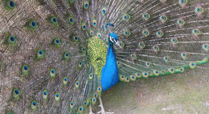 Φτέρωμα Peacock Στοκ εικόνα με δικαίωμα ελεύθερης χρήσης