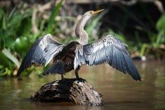 Φτερά διάδοσης Anhinga στο βράχο στον ποταμό Στοκ Εικόνες