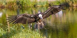 Φτερά κονδόρων στοκ εικόνα με δικαίωμα ελεύθερης χρήσης