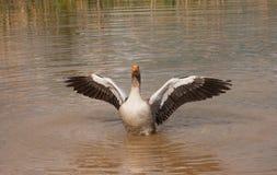 φτερά χηνών Στοκ Φωτογραφία