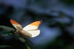 Φτερά Orangcicle Στοκ Εικόνα