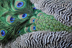 Φτερά Peacock στοκ εικόνες