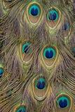 Φτερά Peacock Στοκ Εικόνα