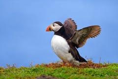 Φτερά Puffin ανοικτά Στοκ εικόνα με δικαίωμα ελεύθερης χρήσης