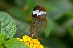 Φτερωτή πεταλούδα γυαλιού στο κίτρινο λουλούδι Στοκ Εικόνες