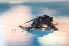Φτερωτό έντομο που βάζει τους νεκρούς Στοκ Φωτογραφία