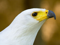 Φτερωτό αρπακτικό ζώο Στοκ Εικόνα