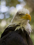 Φτερωτό αρπακτικό ζώο Στοκ φωτογραφίες με δικαίωμα ελεύθερης χρήσης