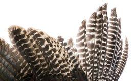 Φτερό πουλιών με τα καφετιά φτερά Στοκ φωτογραφίες με δικαίωμα ελεύθερης χρήσης