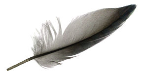 Φτερό πουλιών Στοκ Εικόνες
