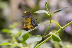 Φτερό στιλέτων ή πεταλούδα Marpesia στο φύλλο Στοκ Εικόνα